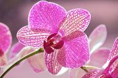 Blossom of pink orchid