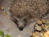 Hedgehog Taken Closeup.