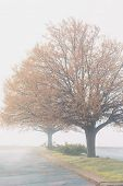 Linden trees with fall foliage blanketed in fog.