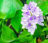 Beautiful Flower Of Water Hyacinth