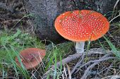 pic of toadstools  - beautiful red toadstool mushroom in the forest - JPG