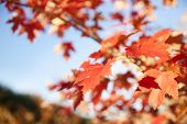 image of differential  - Maple leaves in differential focus in autumn.
