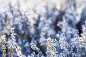 pic of frozen  - Frozen heather flower - JPG