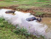 Large Thai Buffalo