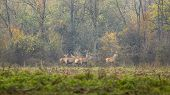 Red Deers In Forest