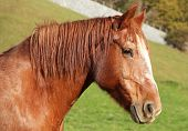 picture of hackney  - young brown horse walks on the farm - JPG