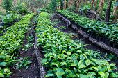 pic of coffee crop  - Coffee plantation seedlings trees from north of nicaragua - JPG