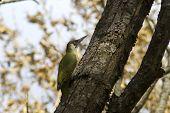 Male Green Woodpecker On A Tree Trunk Autumn