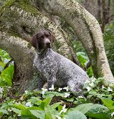 german shorthair pointer sitting in the woods