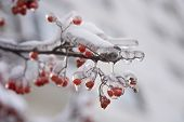 Ice On Frozen Red   Berry Of Ashberry