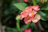 foto of thorns  - Euphorbia Milli Desmoul Flower - JPG