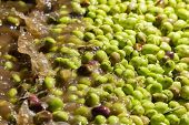 Closeup Of Olives In A Olive Oil Machine