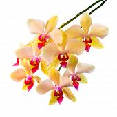 Blooming  Beautiful Branch Of Orange Striped Orchid, Phalaenopsis Is Isolated On White Background, C