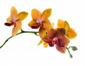 Blooming  Twig Of Orange Spotted Orchid, Phalaenopsis Is Isolated On White Background