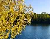 Autumn Birch Against The Lake