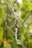 Wasp Spider In The Web.(argiope Bruennichi)