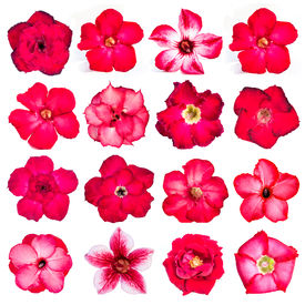 picture of azalea  - Collection of red flowers isolated on white background - JPG