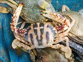stock photo of blue crab  - Raw blue crab on the net fisherman - JPG
