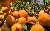 image of apricot  - close - JPG