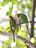 image of parakeet  - Budgerigars shell parakeet on branch - JPG