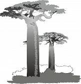 picture of baobab  - vector image of a baobab tree of genus Adansonia - JPG