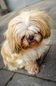 stock photo of hairy tongue  - Small male Shih Tzu Dog looking down, being ashamed after done something bad ** Note: Visible grain at 100%, best at smaller sizes - JPG