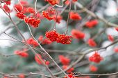 stock photo of rowan berry  - Red rowan berries on withered branch at autumnal cloudy weather. Beautiful nature close up. Useful as background.