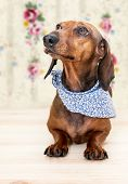 image of dachshund dog  - Red dachshund dog with sun glasses or bow tie scarves Red dachshund dog with sun glasses or bow tie handkerchiefs over wooden table - JPG