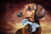 pic of comedy  - Red dachshund dog with sun glasses or bow tie scarves Red dachshund dog with sun glasses or bow tie handkerchiefs over wooden table - JPG