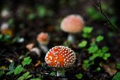 image of toadstools  - Small cute toadstool on the background of his brethren near clover grows - JPG