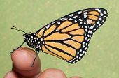 image of monarch butterfly  - Monarch butterfly resting on a finger - JPG