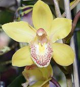 picture of yellow orchid  - Cymbidium Florisun