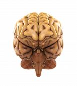 stock photo of neurology  - Human Brain Anatomy Illustration  - JPG