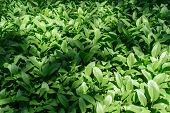 pic of plantain  - Hosta is a shade - JPG