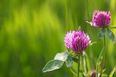 stock photo of red clover  - Two clover flowers isolated on green background - JPG