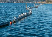 picture of abundance  - Seagulls sitting on pontoons at Coulon Park in Renton - JPG
