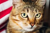 stock photo of tabby cat  - Close Up Portrait Peaceful Tabby Male Kitten Cat