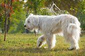 foto of sheep-dog  - South Russian Sheep Dog walk in park - JPG