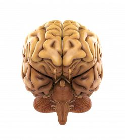 stock photo of human-rights  - Human Brain Anatomy Illustration  - JPG