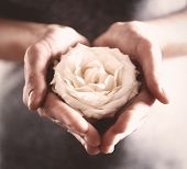 foto of rose bud  - Bud of beautiful white rose in female hands - JPG