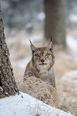 picture of freeze  - Eurasian lynx between trees in winter time - JPG