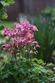 image of columbine  - Crimson Star Columbine flower plant in the garden - JPG