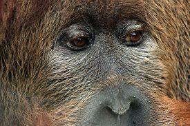 pic of orangutan  - Cross hybrid of the Sumatran orangutan  - JPG