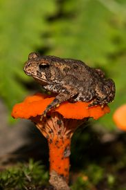 image of baby frog  - A Baby American Toad sitting on an orange mushroom - JPG