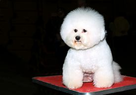 foto of bichon frise dog  - The bichon seats on the table in the dog show - JPG