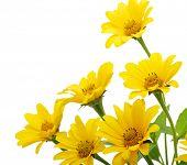 flor da Margarida amarelo isolado no branco