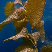 Under Water View of Kelp