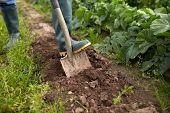 farming, gardening, agriculture and people concept - farmer with shovel digging garden bed or farm poster
