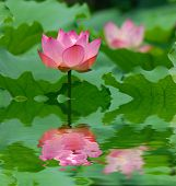 lotus flower over leaves