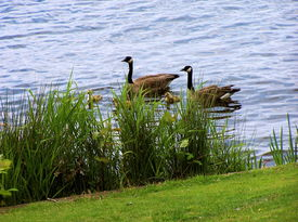 pic of honkers  - MaMa and PaPa Goose swim near lake shore with goslings. Gentle waves. Iris plants and wild grass. Green lawn. Peaceful. Cozy. Pleasant.  - JPG